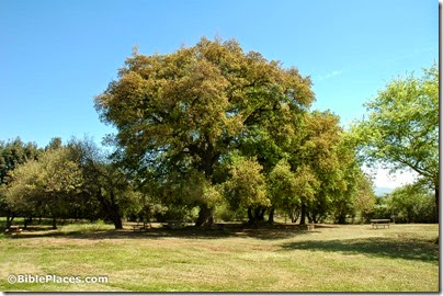 Tabor oak, Horeshat Tal, tb032905182