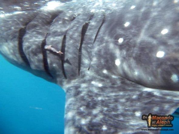 Viajar a Isla Holbox Nadar con el Tiburon Ballena 6