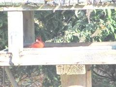 Cardinal in big feeder 11.2011
