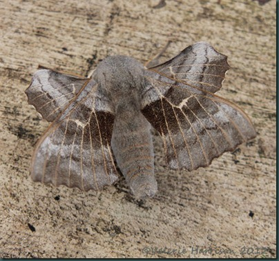 Poplatr-Hawk-Moth