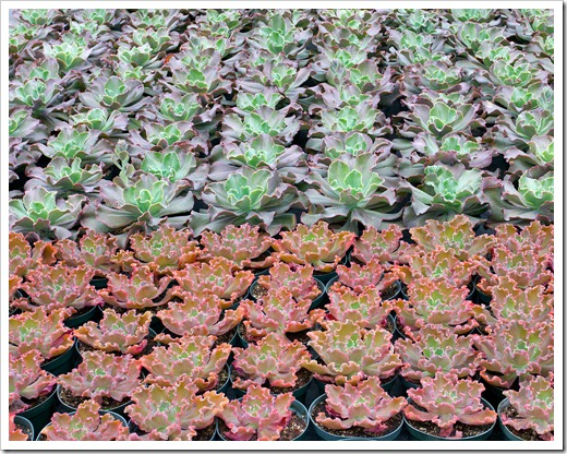 120928_SucculentGardens_fancy-echeverias