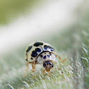 Chinita, Ladybug