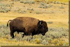 American Bison (Bison bison)