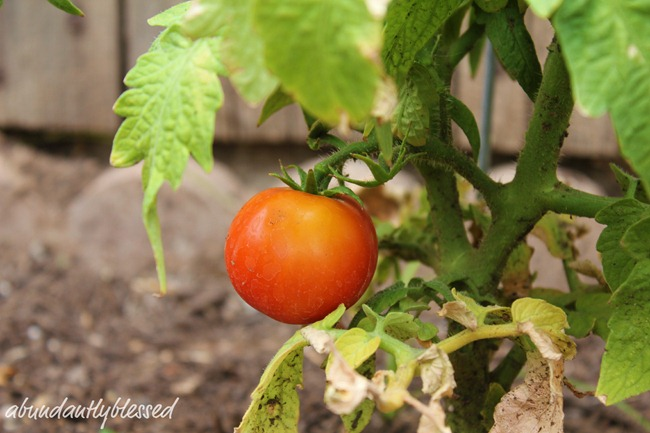 Tomato1AB