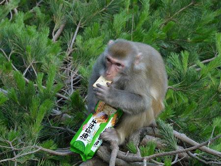 Fauna China: maimuta mananca biscuiti
