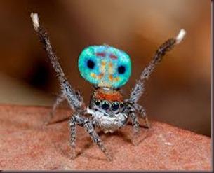 Amazing Pictures of Animals, photo, Nature ,exotic, funny, incredibel, Zoo, Maratus volans,  Peacock spider or Gliding spider, Alex (13)