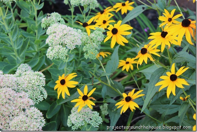 black eyed susan, autumn joy sedum
