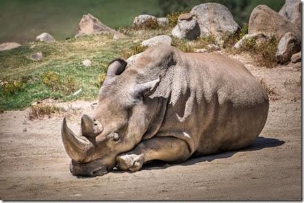 rinocerontebranco