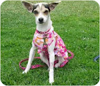 Lil Star is a Chihuahua from Animal Advocates Allliance in Los Angeles, one of the shelters Margo's Bark supports.