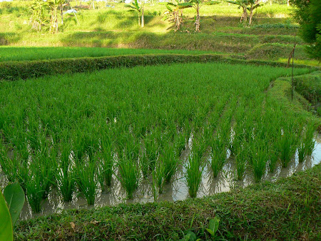Bali pictures: rice pads