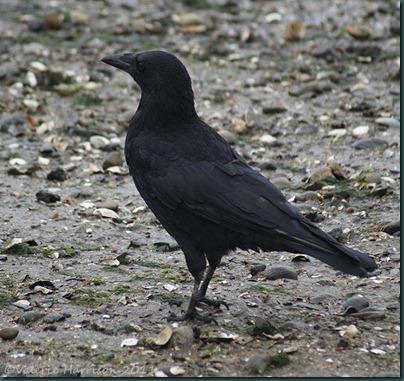 25-crow