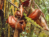 Pitcher plants on the summit ridge of Gunung Ranai (Dan Quinn, September 2013)