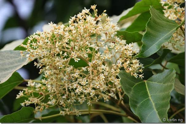 aleurites flowers