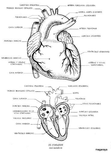 cuerpo humano corazón