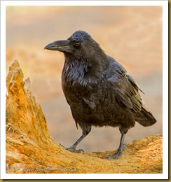 Common Raven -Corvus corax