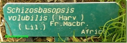 cartelllino schizosbasopsis volubilis