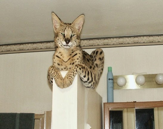 Amazing Pictures of Animals, Photo, Nature, Incredibel, Funny, Zoo,  Savannah cat,  domestic hybrid cat, Alex (16)