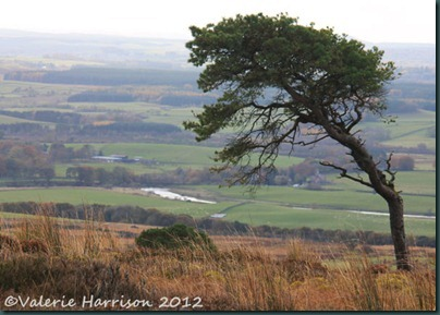 30-Scots-Pine