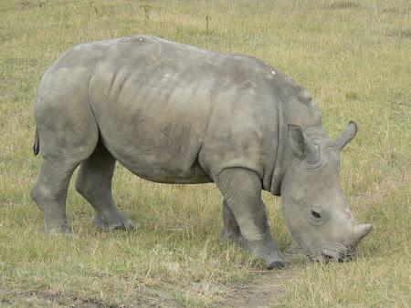 Safari: baby rhino