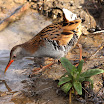 NG-Water Rail 140308.jpg
