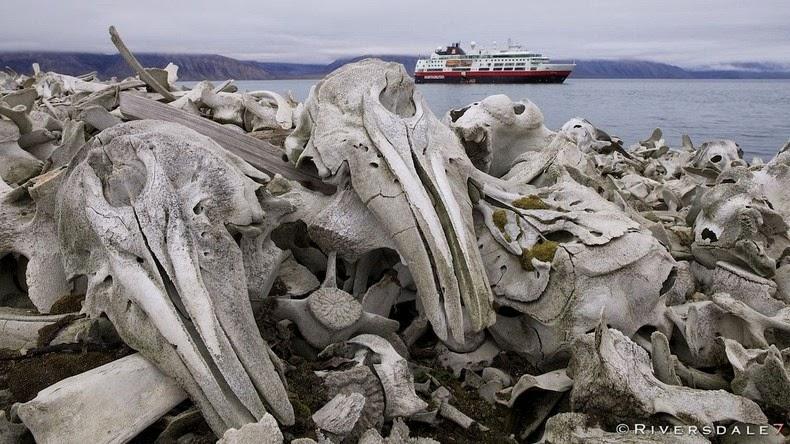 beluga-whale-bones1-1