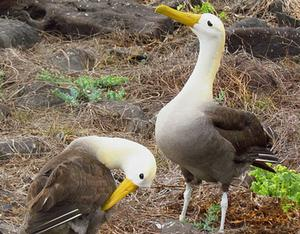 The Waved Albatross, or Galapagos Albatross, Phoebastria irrorata, is Critically Endangered. This mated pair is on Espanola Island, Ecuador. D. Gordon E. Robertson