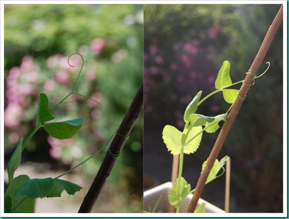 Beans time elapse diptych