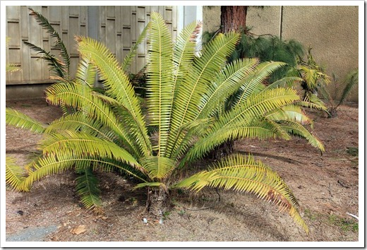 130202_UCDavis_Dioon-spinulosum_01