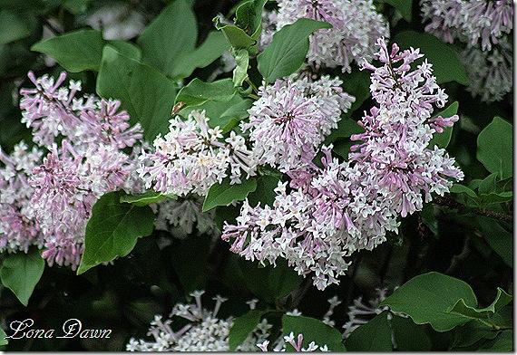 DA_Lilacs3