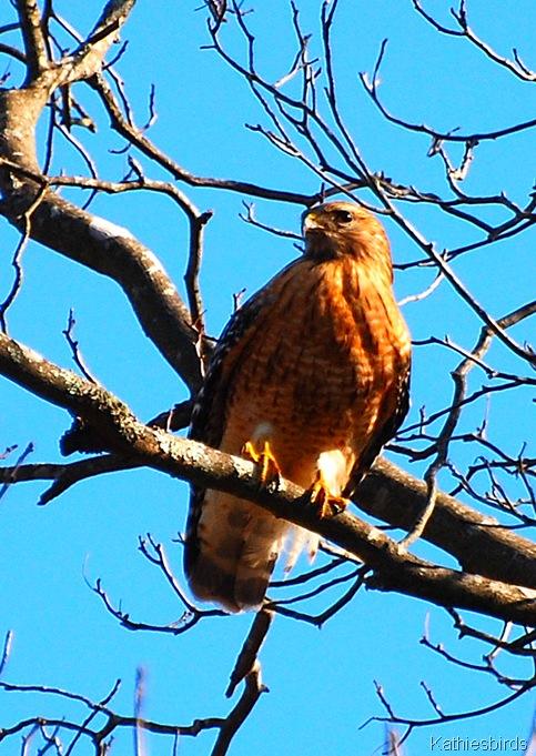2. red-shouldered hawk-kab