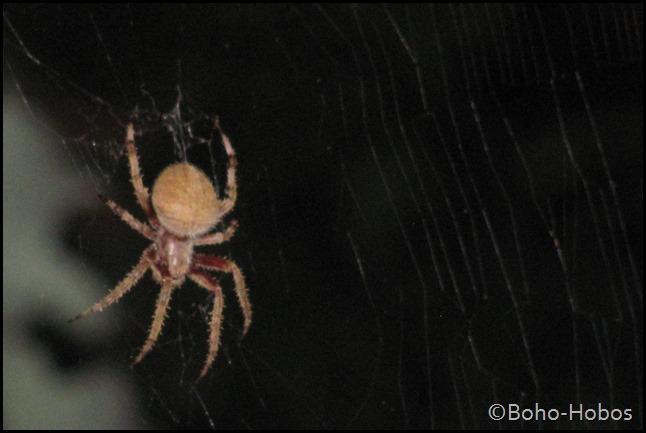 European Orb Weaver Garden Spider