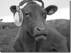 vacas escutando msica