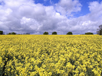 Oilseed (canola) in bloom.