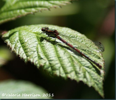 large-red-damselfly
