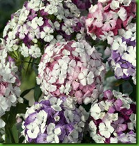 Sweet William Kaleidoscope