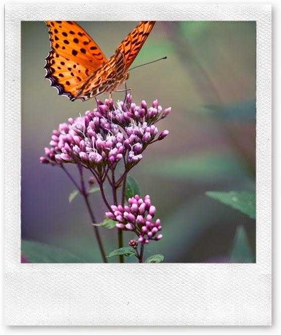 pura borboleta
