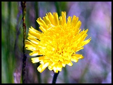 03g3 - Knight Trail - flowers