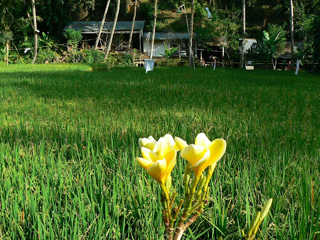 Typical Bali: rice and flowers