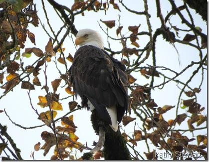 Nov. 2, 2012 Bald Eagle