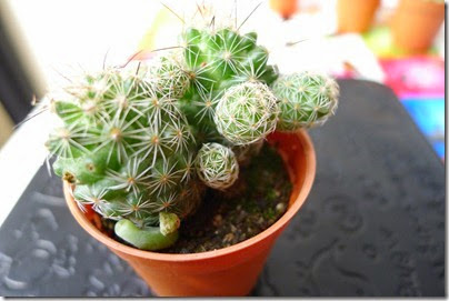 mini cactus plant / indoor mini plant