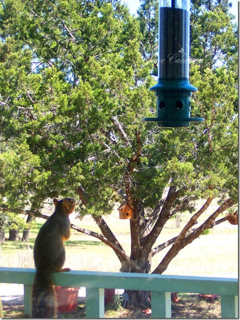 Squirrel_LookingatFeeder
