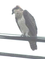 7.31.12 young osprey on wire wings head turned3