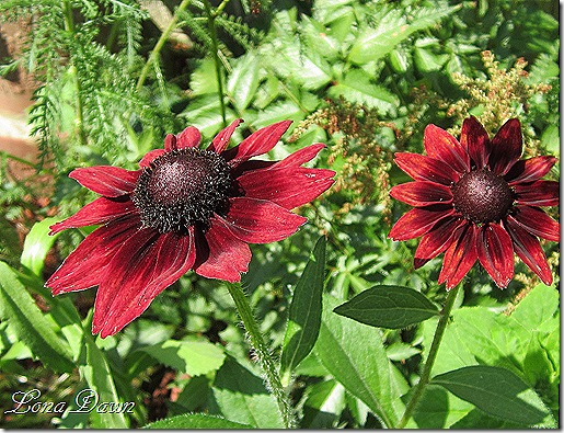 Rudbeckia_CherryBrandy_June24