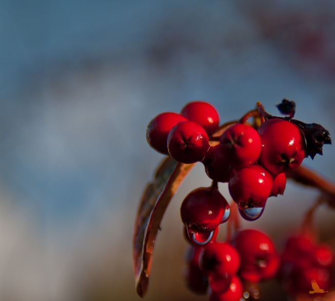 Vanndråpe på rødt bær høst