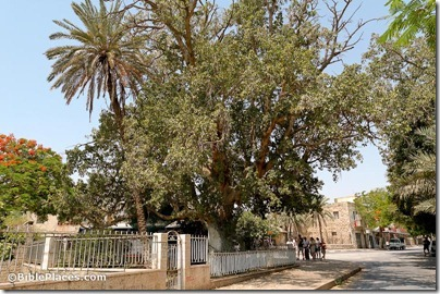 Sycamore-fig tree, Jericho, tb052205965