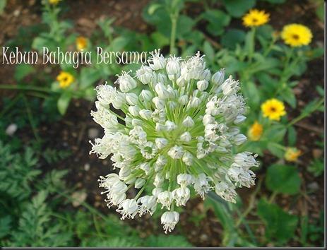 Musselburgh leek flower