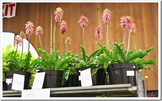 120321_SF_Flower Garden_Show_Veltheimia_bracteata