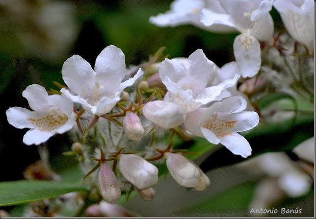 4 Kolkwitzia amabilis _DSC3306x1
