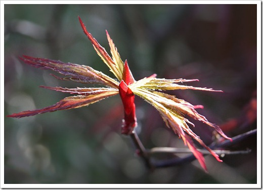 120325_Acer-palmatum-Red-Dragon_02