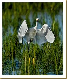 Snowy Egret Snowy Egret Dance D7K_2818 August 11, 2011 NIKON D7000